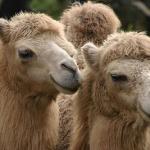 3 Top Veranstalter von Kamelreiten: Bärli zwischen den Hökern