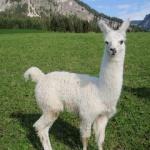 Exotischer Almabtrieb in Tirol! Lamas kommen ins Tal