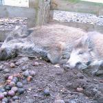 Dreimal saumäßig wandern: Wildschweine im Herbst beobachten