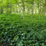 Essbare Wildpflanzen: Eine App von Lars Konarek