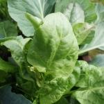 Sauerampfer Salat kinderleicht gekocht