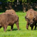 Wisent: Hier gibt es die Bisons Europas zu sehen.