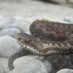 Schlangen in freier Natur: Scheu, schön und selten
