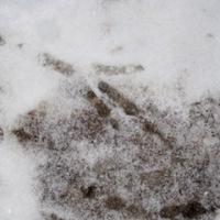 Tierspuren finden sich im Neuschnee überall.   Foto (c) kinderoutdoor.de