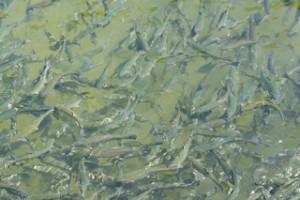 Forellen nach Grenobler Art. Hier schwimmen sie; noch! Foto (c) Kinderoutdoor.de