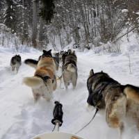 Vier Pfoten für ein Halleluja! Auf der Alb brettert Ihr bei einem Hundeschlitten mit.   Foto  Fotograf © Nature Trails GmbH