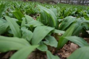 Bärlauch Crepes sind ein deftiger Genuss im Frühling.  Foto (c) kinderoutdoor.de