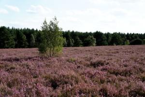 Zauberhaft ist die Lüneburger Heide schon immer gewesen, aber mit dem Märchenwanderweg zieht sie die KInder in den Bann.  Foto (c) kinderoutdoor.de