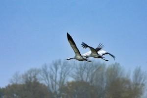 Kraniche im Anflug! Unternehmt doch einen Familienausflug zu diesen beeindruckenden Vögeln.  Foto (c) Foto: TMV/Engler
