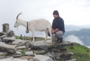 Kein Grund zu meckern! Pietro kümmert sich auf der Alpe Nimi um den Rohstoff für seinen leckeren Ziegenkäse.  Foto (c) Ticino Turismo