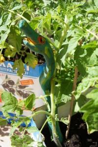 Feurige Tomaten! Fertig sind wir mit dem Schnitzen von unserem Pflanzstock! Foto (c) kinderoutdoor.de