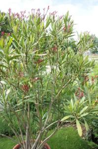 Zu den Giftpflanzen gehört auch der Oleander. Sein Gift wirkt herzlähmend.  Foto (c) kinderoutdoor.de Foto