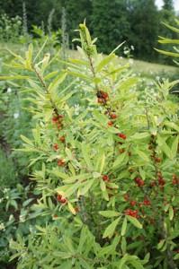 Giftpflanzen mit tödlicher Wirkung. Dabei sehen die Beeren vom gewöhnlichen Seidelbast so lecker aus! Foto (c) kinderoutdoor.de