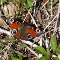 Bald ist sie ein wunderschöner Schmetterling. Foto (c) kinderoutdoor.de