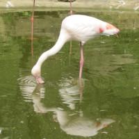 Warum steht der Flamingo auf einem Bein? Wenn er das auch noch einzieht, fällt er um! Auf der Flamingoroute könnt Ihr im Zwillbrocker Venn die Tiere in freier Wildbahn beobachten!  Foto (c) kinderoutdoor.de