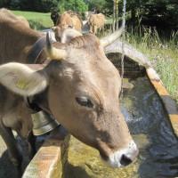 """""""Tourist? Dann drücken wir mal ein Auge zu!"""" Wer will sich schon gerne beim Trinken stören lassen? Lasst die Tiere in Ruhe und verhindert eine Kuhattacke.   Foto (c) kinderoutdoor.de"""