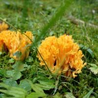 Beim Pilze sammeln entdeckt Ihr auch ungewöhnliche Schwammerl wie hier den Ziegenbart.   Foto (c) kinderoutdoor.de