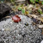 Basteln mit Kastanien: Anleitung für eine Schildkröte