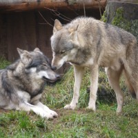 Sie sind die Stars im Wildpark Eekholt: Die Wölfe.   Foto (c) kinderoutdoor.de