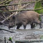 Sauerei! Die Wildschweine finden ihr Gehege im Wildpark Eekholt saumäßig gut.   Foto (c) kinderoutdoor.de
