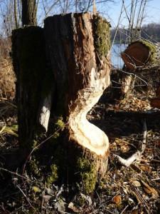 Biber beißen sich durch! Für die Kinder ist es beeindruckend, was für dicke Bäume die Biber durchbeissen können.  Foto (c) kinderoutdoor.de
