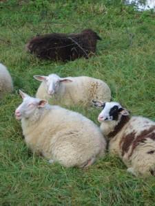 Schaf wandern mit den KIndern. In der Rhön ist das möglich, auch eine Übernachtung in einem Schäferwagen. Foto (c) kinderoutdoor.de