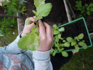 Gärtnern mit Kindern: Hier lernen die Kinder wie sie die kleinen Pflanzen pikieren. Auch das erklärt Euch Stadt Land Blüht.  foto (c) kinderoutdoor.de