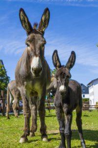 Wandern mit Kindern und Esel in Winterberg: Sehen so störrische Gesellen aus? Foto (c) Ferienwelt Winterberg