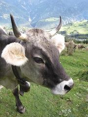 Kuh Attacke: Bleibt kuhl und dreht dem Tier nicht den Rücken zu, sonst nimmt Euch die Kuh auf die Hörner.  foto (c) kinderoutdoor.de
