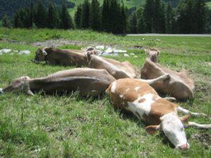 """Wandern mit KIndern in Sankt Anton am Arlberg: Die Kühe machen es vor und lassen den Tag """"etwas"""" ruhiger angehen.  foto (c) kinderoutdoor.de"""