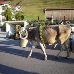 Almabtrieb: Die Kühe kommen wieder ins Tal zurück