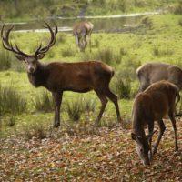 Auch an der Ostsee sind die Hirsche im Herbst schwer aktiv um für sich zu werben.   foto (c) kinderoutdoor.de
