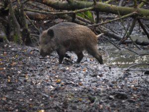 Kinder schnitzen: So ein Wildschwein wollen wir aus Holz entstehen lassen und haben die ultimative Schnitzanleitung dazu. foto (c) kinderoutdoor.de