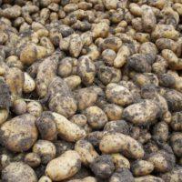 Outdoor Rezepte: Kartoffeln sind perfekt um damit draußen am Gaskocher oder Lagerfeuer zu kochen.   foto (c) kinderoutdoor.de