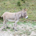 Esel wandern mit Kindern: Der Chef hat ein graues Fell und lange Ohren!