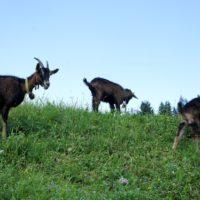 Wandern mit Kindern um Engelberg: Ziegen Trekking ist eine entspannte Art und die Outdoorkids sind begeistert.   Foto (c) kinderoutdoor.de