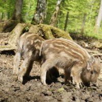 Lohnenswerte Ausflugsziele im Bayerischen Wald sind die Tierfreigehege. Dort gibt es jetzt Nachwuchs, wie die Frischlinge in Neuschönau.   foto (c) kinderoutdoor.de