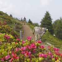 Rosa Berge! Die Alpenrosen blühen und bringen Farbe in die Berge um Schenna. Wer auf dem Hirzer Almweg mit den Kindern wandert sieht von Ende Juni bis Anfang Juli diese Bergblumen blühen.   Foto (c) Tourismusverein Schenna/Frieder Blickle