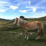 Familienwanderung in Südtirol: Haflinger Alarm auf dem Weg zur Mahlknechthütte