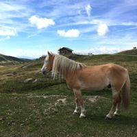 Typisch für Südtirol sind die Haflinger Pferde. Noch im Urlaub erklären die Kinder, dass sie so ein Pferd haben wollen.   foto (c) kinderoutdoor.de