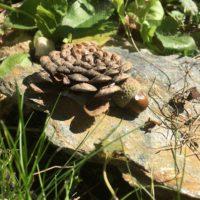 Fertig ist unsere Schildkröte aus einem Kiefernzapfen.   foto (c) kinderoutdoor.de
