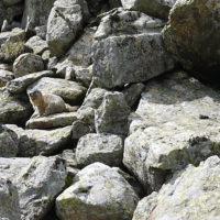 Auf dem Weg zur Bächlitalhütte bekommt Ihr auch, mit etwas Glück, Murmeltiere zu sehen.   foto (c) kinderoutdoor.de