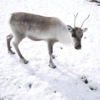 Die Rentiere in den Dolomiten streifen frei herum und ab dem 28.Dezember könnt Ihr jeden Donnerstag bei der Fütterung zusehen.   foto (c) kinderoutdoor.de