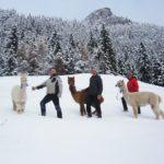 Winter Alpaka Wanderung in Pfronten: Auf leisen Sohlen durch das Allgäu