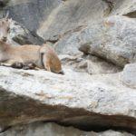 Mit Kindern Big 5 der Alpen beobachten: Wo bekommt Ihr diese Tiere zu sehen bei der Bergsafari zu sehen?