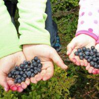 Blaubeeren sammeln mit Kindern auf den Hochheiden von Winterberg ist ein Heidelspaß für die Kinder.   foto (c) Ferienwelt Winterberg