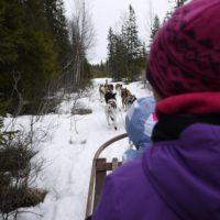 Winter in Thüringen: 48 Pfoten und zwei Kufen. Schittenhunde in Thüringen.  foto (c) kinderoutdoor.de