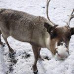 Winterwandern mit Kindern in Südtirol: Rentiere bei den Drei Zinnen