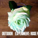 "Kinder experimentieren: Wie ""trinken"" Pflanzen?"